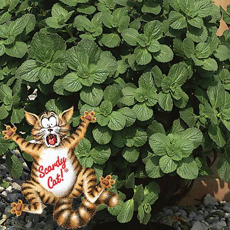 12 jumbo plug plants scaredy cat plants coleus canina witt international. Black Bedroom Furniture Sets. Home Design Ideas